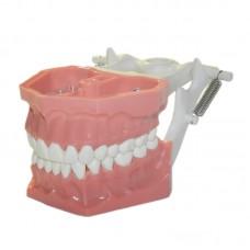 Учебная модель челюсти (стоматологический фантом) StM-01 (аналог Arma Dental)